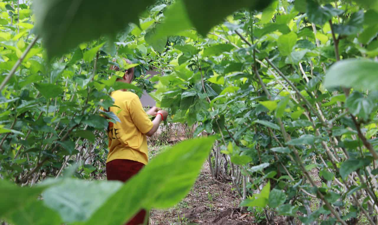 Mulberry Bushes Caring