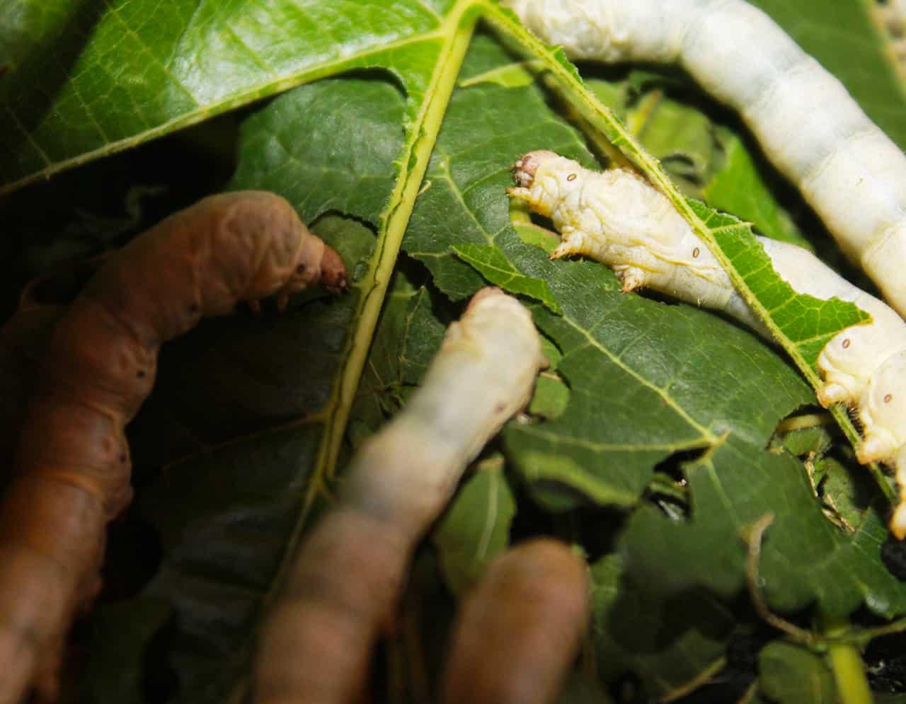 Silkworm Breeding and Feeding